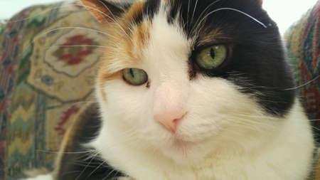 Contented Calico Cat