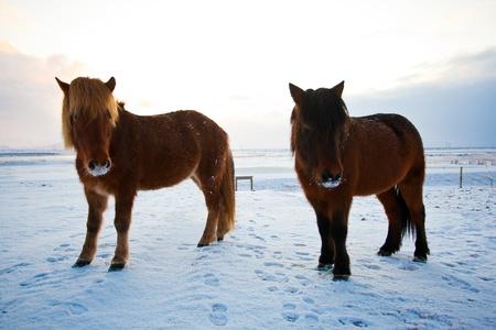 Flock of Icelandic horses grazing in the meadow