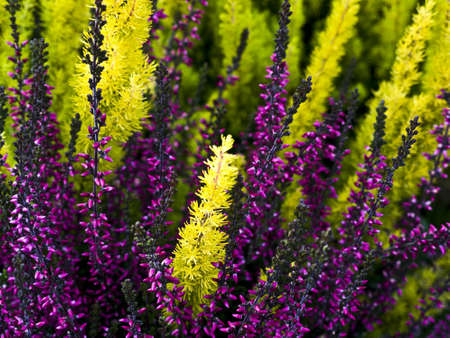 heather in different colors in the summer