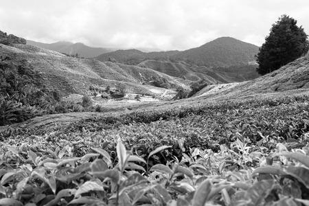 Photo pour Tea farm at Cameron Highland Malaysia - image libre de droit