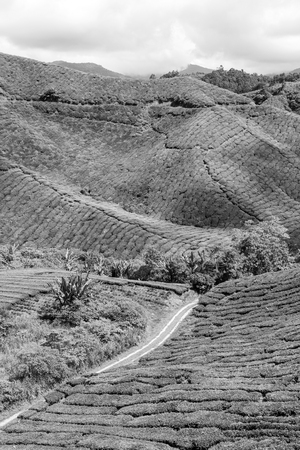 Photo pour Green Tea Plantations at Cameroon Highlands in Malaysia - image libre de droit