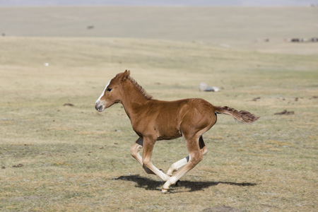 A young foal gallops wildly through the steppe at Song Kul Lake in Kyrgyzstan