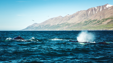 Whales on water in gulf of Iceland.