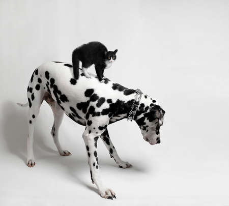 Scared black cat riding a Dalmatian dog who looks