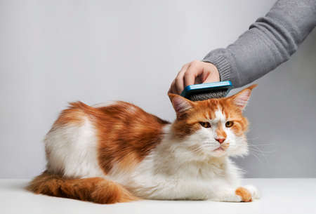 Care Maine Coon cat, combing hair brush for animals. Man's hand.