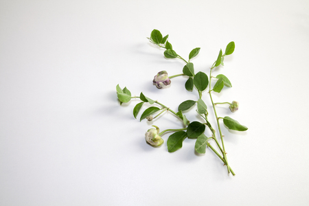 Caper branch with leaves and fruits isolated on white