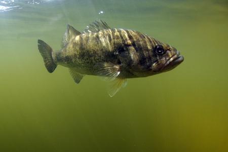 Largemouth bass fish underwater in ocean in natural habitat
