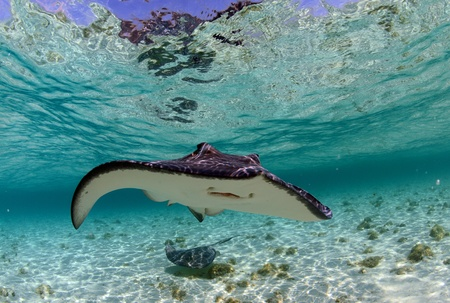 spotted eagleray and manta ray in the tropical ocean