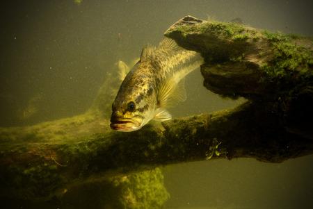 large mouth bass fish in freshwater lake