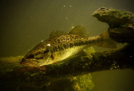 largemouth bass fish underwater in lake