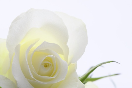 Macro of white rose heart and petals