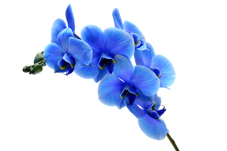 Blue flower orchid isolated by clipping path on white background