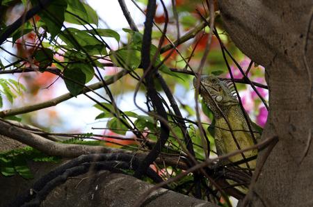 Green iguana in Curacao, hidden in tree