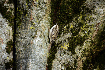 brown creeper bird on bark trunk, savoy, france
