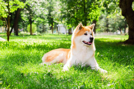 Photo for Beautiful male Japanese dog Akita inu, lying in nature - Royalty Free Image