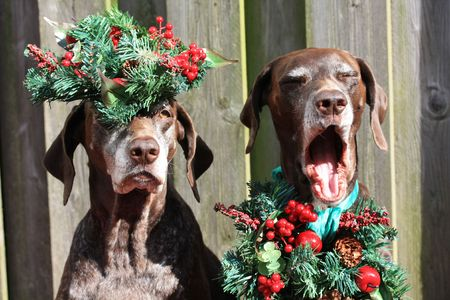 Two German shorthaired pointer sisters, dressed for Christmas