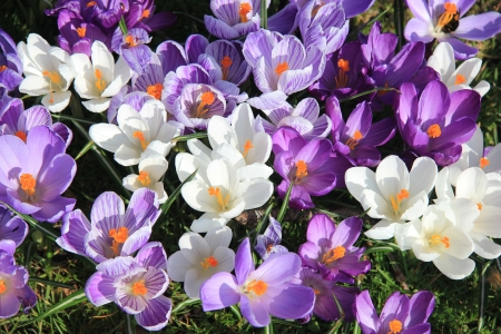 Crocuses in various shades of purple and white in a field