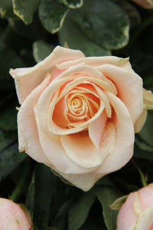 pale pink roses in a wedding