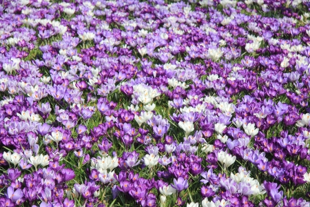 Big group of white and purple crocuses in early spring sunlight