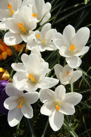 Small group of white crocusus in spring sunlight