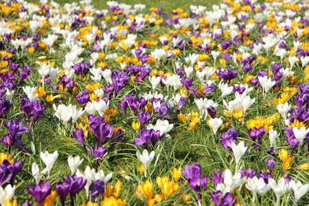 Yellow, white and purple crocusus in a meadow