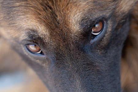 Foto de macro close up of a german shepherd watching in the camera, swallow depth of field - Imagen libre de derechos