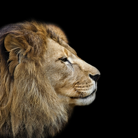 Lion s head in profile against a black background