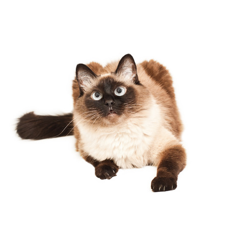 Balinese cat lies on a white
