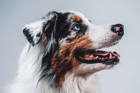 Portrait of domestic animal and humans best friend in studio. Playful trained dog in white background showing his tongue.