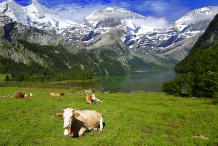 Beautiful Alpine landscape with cow herd near the lake with mountains in the back covered by snow
