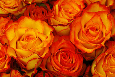 Orange roses with leaves background - natural texture with fresh flower buds