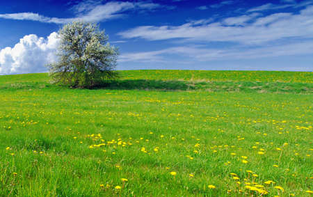Beautiful spring landscape with tree in bloom and meadow full of dandelions