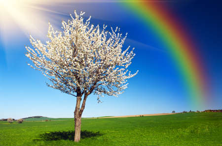 Photo pour Lonely blooming apple tree in the green field with a blue sky, sun and rainbow - image libre de droit