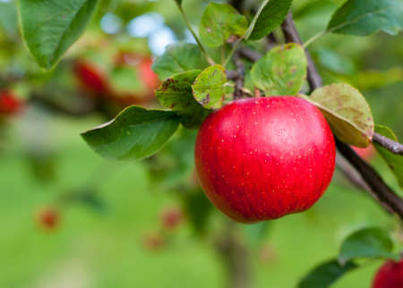Photo for Red apple growing on tree. Shallow DOF - Royalty Free Image