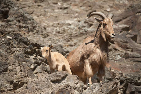 Adult barbary sheep (Ammotragus lervia) on a rock with a lamb