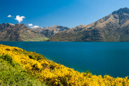 Beautiful lake Wakatipu with mighty mountains and blooming yellow gorse (Ulex europaeus). Ot