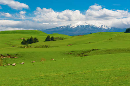 Foto de Beautiful landscape of the New Zealand - hills covered by green grass with herds of sheep with a mighty volcano Mt. Ruapehu covered by snow behind.  New Zealand - Imagen libre de derechos