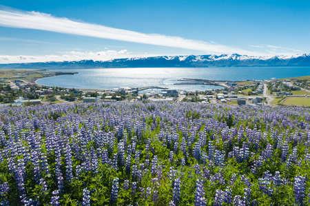 View at Husavik Bay through meadows full of blooming Nootka lupin Lupinus nootkatensis, Iceland.