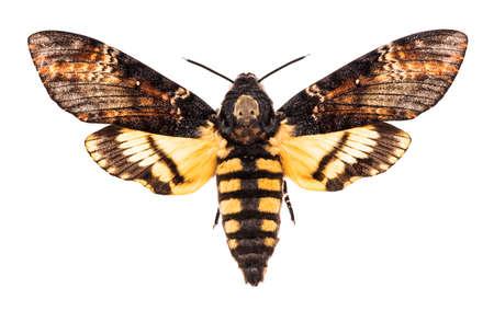 Photo pour Female Death's head hawk-moth (Acherontia atropos) isolated on white background  - image libre de droit