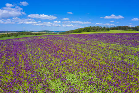 Photo pour Blooming flowers of purple poppy (Papaver somniferum) field on a hill - image libre de droit