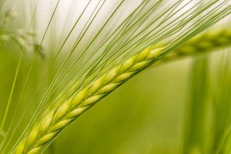 wheat culm