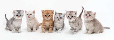 Photo pour British shorthair kittens on a light background . Panoramic image - image libre de droit