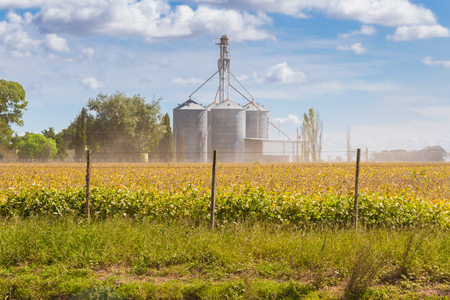 Photo for Soybean plantation in the field with defocused silos in the background - Royalty Free Image