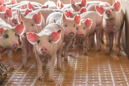 Photo pour industrial pigs hatchery to consume its meat - image libre de droit