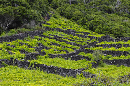 Pico is an island, which is famous for the production of extremely delicious wines, Vineyards are inscribed on the UNESCO World Heritage Site, Azores