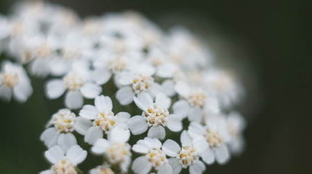 Selective focus close-up of wild carrot flower growing in