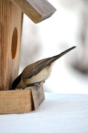 A bird Chickadee in winter eating from birdhouse feeder