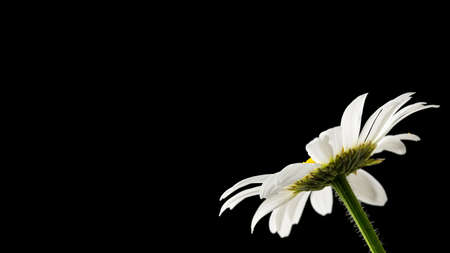 Beautiful daisy on black background. Empty space ready for your text.