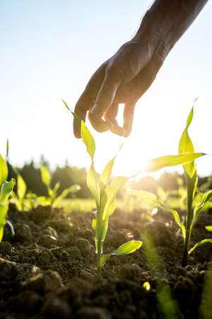 Photo pour Male hand reaching down to a young maize plant growing in an agricultural field backlit by a bright early morning sunlight with sun flare around the plant and hand. - image libre de droit