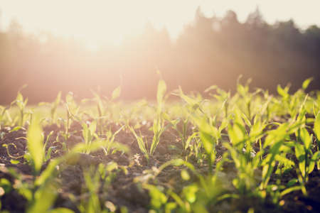 Photo for Field of young green maize or corn plants backlit by the sun with a vintage style filter effect. - Royalty Free Image